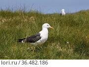Silbermoewe, (Larus argentatus), Profil, Insel Duene, Helgoland, ... Стоковое фото, фотограф Zoonar.com/Stefan Ziese / age Fotostock / Фотобанк Лори