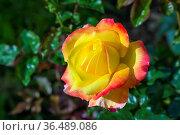 Garden rose in garden in summer, Russia. Стоковое фото, фотограф Zoonar.com/Boris Breytman / easy Fotostock / Фотобанк Лори