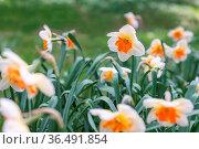Flowers spring daffodils in the garden. Стоковое фото, фотограф Zoonar.com/OLGAMURiNA / easy Fotostock / Фотобанк Лори