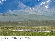 Demoiselle cranes (Grus virgo) on Ukok plateau, Altai Republic, Russia. Стоковое фото, фотограф Olga Kamenskaya / Nature Picture Library / Фотобанк Лори