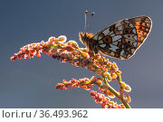 Small pearl-bordered fritillary (Boloria selene) roosting on common sorrel (Rumex acetosa), Marsland mouth, Devon, UK. May . Стоковое фото, фотограф Ross Hoddinott / Nature Picture Library / Фотобанк Лори