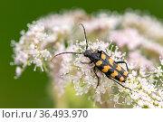 Four-banded longhorn beetle (Leptura quadrifasciata), Volehouse Farm, Devon. UK. August . Стоковое фото, фотограф Ross Hoddinott / Nature Picture Library / Фотобанк Лори