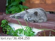 British shorthair cat lying on the wooden porch. Стоковое фото, фотограф Георгий Дзюра / Фотобанк Лори