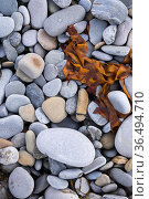 Rocks and seaweed on the beach at Skaill, west coast of Mainland, Orkney Isles, Scotland. October 2020. Стоковое фото, фотограф David Noton / Nature Picture Library / Фотобанк Лори