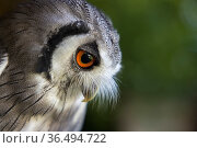 White faced scops owl (Ptilopsis leucotis) captive at Pitcombe Rock Falconry, Somerset, England, UK. July. Стоковое фото, фотограф David Noton / Nature Picture Library / Фотобанк Лори