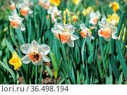 Flowers daffodils. Стоковое фото, фотограф Zoonar.com/OLGAMURiNA / easy Fotostock / Фотобанк Лори