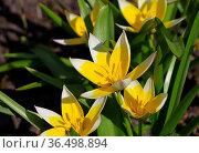 Wildtulpe Tulipa tarda im Frühling - wild tulip Tulipa tarda in spring. Стоковое фото, фотограф Zoonar.com/Liane Matrisch / easy Fotostock / Фотобанк Лори