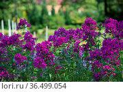 Flowers pink phlox. Стоковое фото, фотограф Zoonar.com/OLGAMURiNA / easy Fotostock / Фотобанк Лори