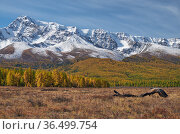 Autumn highland landscape. Picturesque driftwood is on foreground and larch forest with snow mountains are on background. Стоковое фото, фотограф Serg Zastavkin / Фотобанк Лори