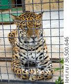Грустный леопард за сеткой вольера. Стоковое фото, фотограф Вячеслав Палес / Фотобанк Лори