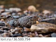 Common gray toad on the water close-up. Стоковое фото, фотограф Евгений Харитонов / Фотобанк Лори