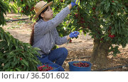 Asian girl is harvesting cherries on the plantation. Стоковое видео, видеограф Яков Филимонов / Фотобанк Лори
