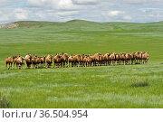 Herde von Trampeltieren, auch Zweihöckriges oder Baktrisches Kamel... Стоковое фото, фотограф Zoonar.com/Pant / age Fotostock / Фотобанк Лори