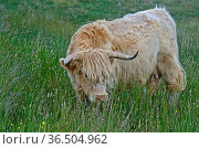 Schottisches Hochlandrind, Highland Cattle oder Kyloe, auf der Weide... Стоковое фото, фотограф Zoonar.com/Pant / age Fotostock / Фотобанк Лори