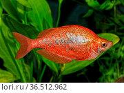 Portrait of freshwater rainbow fish (Glossolepis incisus) in aquarium. Стоковое фото, фотограф Zoonar.com/Jiri Plistil / easy Fotostock / Фотобанк Лори