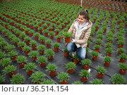 Female florist cultivating Argyranthemum percussion in greenhouse. Стоковое фото, фотограф Яков Филимонов / Фотобанк Лори