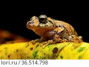 Neotropischer Frosch (Pristimantis sp.), Craugastoridae Familie, Copalinga... Стоковое фото, фотограф Zoonar.com/Pant / easy Fotostock / Фотобанк Лори