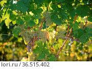 Weintrauben, Weintraube, wein, traube, trauben, weinstock, rebe, weinrebe... Стоковое фото, фотограф Zoonar.com/Volker Rauch / easy Fotostock / Фотобанк Лори