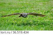 Eule in Wisentgehege Springe Deister.Burrowing Owl (Athene cunicularia... Стоковое фото, фотограф Zoonar.com/Arvidas Saladauskas / age Fotostock / Фотобанк Лори