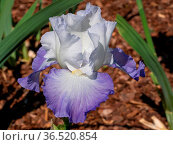 German iris (Iris barbata), close up of the flower head. Стоковое фото, фотограф Zoonar.com/Alexander Ludwig / easy Fotostock / Фотобанк Лори