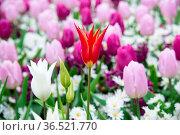Blooming flowers in Keukenhof park in Netherlands, Europe. Стоковое фото, фотограф Zoonar.com/Yuri Dmitrienko / easy Fotostock / Фотобанк Лори