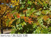 Разноцветные листья дуба красного или остролистного (лат. Quercus rubra) на ветках осенью. Стоковое фото, фотограф Елена Коромыслова / Фотобанк Лори