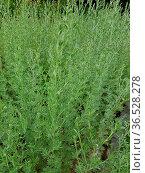 Wermut, Artemisia, Absinthium, Kraeuterpflanze, Heilpflanze, Wildpflanze... Стоковое фото, фотограф Zoonar.com/Manfred Ruckszio / easy Fotostock / Фотобанк Лори