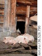 Schweine, schwein, hausschwein, hausschweine, nutztier, nutztiere... Стоковое фото, фотограф Zoonar.com/Volker Rauch / easy Fotostock / Фотобанк Лори