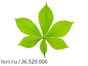 Green chestnut leaf isolated over white. Стоковое фото, фотограф Zoonar.com/Wolfilser / easy Fotostock / Фотобанк Лори