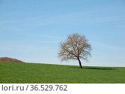 Baum , Feld, acker, rhön, bayern, deutschland, einsam, einzeln, frühling... Стоковое фото, фотограф Zoonar.com/Volker Rauch / easy Fotostock / Фотобанк Лори