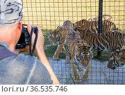 """Фотограф снимает тигров в вольере. Парк """"Тайган"""", Крым (2020 год). Редакционное фото, фотограф Вячеслав Палес / Фотобанк Лори"""