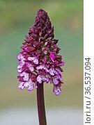 Das Purpur-Knabenkraut gehört zu größten heimischen Orchideen und... Стоковое фото, фотограф Zoonar.com/Eder Christa / easy Fotostock / Фотобанк Лори