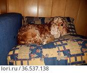 Cocker, Spaniel, Hund, Saeugetier, Bett, couch. Стоковое фото, фотограф Zoonar.com/Manfred Ruckszio / easy Fotostock / Фотобанк Лори
