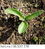 Habichtskraut, Hieracium, Jungpflanze. Стоковое фото, фотограф Zoonar.com/Manfred Ruckszio / easy Fotostock / Фотобанк Лори