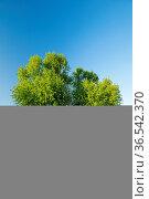 Personen sitzen auf Sitzbank unter grossem Silber-Ahorn Baum am Ufer... Стоковое фото, фотограф Patrick Frischknecht / age Fotostock / Фотобанк Лори