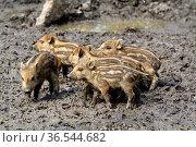 Wildschweine Frischlinge. Стоковое фото, фотограф Zoonar.com/Martina Berg / easy Fotostock / Фотобанк Лори