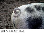 Buntes Bentheimer Schwein. Стоковое фото, фотограф Zoonar.com/Martina Berg / easy Fotostock / Фотобанк Лори