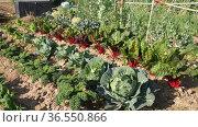 Rows of eco-friendly cabbage and beetroot plantations growing in the field. Стоковое видео, видеограф Яков Филимонов / Фотобанк Лори