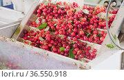 Fresh ripe red cherry washing and cleaning in a packing warehouse. Стоковое видео, видеограф Яков Филимонов / Фотобанк Лори