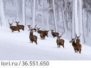 Herd of Red deer (Cervus elaphus) stags in clearing in snow covered pine forest, Cairngorms National Park, Scotland, UK, December. Стоковое фото, фотограф SCOTLAND: The Big Picture / Nature Picture Library / Фотобанк Лори