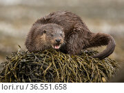 European otter (Lutra lutra) on kelp covered rock, Scotland, UK, April. Стоковое фото, фотограф SCOTLAND: The Big Picture / Nature Picture Library / Фотобанк Лори