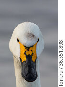 Bewick's swan (Cygnus columbianus) head portrait,  Slimbridge, Gloucestershire, UK January. Стоковое фото, фотограф Mark Carwardine / Nature Picture Library / Фотобанк Лори