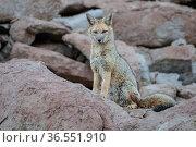 Culpea or Andean Fox (Pseudalopex culpaeus) standing alert, Siloli Desert, altiplano, Bolivia. Стоковое фото, фотограф Bernard Castelein / Nature Picture Library / Фотобанк Лори