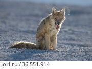 Culpea or Andean fox (Pseudalopex culpaeus) at rest, vicinity of Laguna Verde, Reserva Eduardo Avaroa, altiplano, Bolivia. Стоковое фото, фотограф Bernard Castelein / Nature Picture Library / Фотобанк Лори
