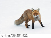 RF - Red fox (Vulpes vulpes) in snow,  Vauldalen, Norway. (This image may be licensed either as rights managed or royalty free.) Стоковое фото, фотограф Erlend Haarberg / Nature Picture Library / Фотобанк Лори