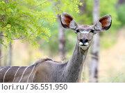 Greater Kudu (Tragelaphus stepsiceros) alert portrait, Hwange National Park. Zimbabwe. Стоковое фото, фотограф Eric Baccega / Nature Picture Library / Фотобанк Лори