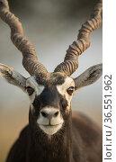 Blackbuck (Antelope cervicapra), Male closeuphead portrait,  Tal Chhapar Wildlife Sanctuary, Rajasthan, India. Стоковое фото, фотограф Yashpal Rathore / Nature Picture Library / Фотобанк Лори