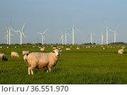 Domestic sheep (Ovis aries) grazing Romney Marshes near Little Cheyne Court wind farm, Rye, Sussex, UK, June. Стоковое фото, фотограф Nick Upton / Nature Picture Library / Фотобанк Лори