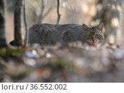 Wildcat (Felis silvestris) crouched low in woodland, Vosges, France, April. Стоковое фото, фотограф Fabrice CAHEZ / Nature Picture Library / Фотобанк Лори