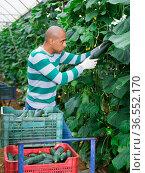 Hispanic farmer harvesting crop of cucumbers in greenhouse. Стоковое фото, фотограф Яков Филимонов / Фотобанк Лори